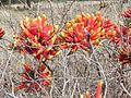 Erythrina acanthocarpa02.jpg