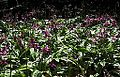 Erythronium revolutum cultivated.jpg