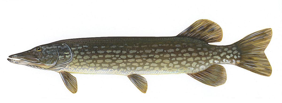 Northern pike wikipedia for Northern pike fishing
