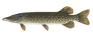 Northern pike species of fish