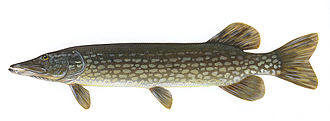 Northern pike - Northern pike