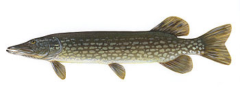 English: Northern pike (Esox lucius) Deutsch: ...