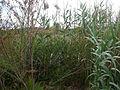 Estany de la Murtra P1480553.jpg