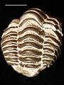 Estonian Museum of Natural History Specimen No 186276 photo (g6 g6-54 jpg).jpg