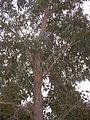 Eucalyptus botryoides.JPG
