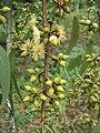 Eucalyptus camaldulensis 27.JPG
