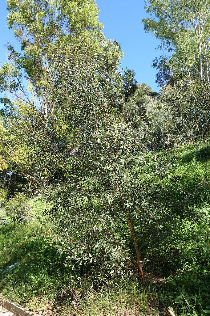 File eucalyptus nutans jard n bot nico de barcelona for Barcelona jardin