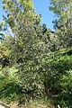 Eucalyptus nutans - Jardín Botánico de Barcelona - Barcelona, Spain - DSC08948.JPG