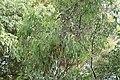 Eucalyptus sideroxylon (23363511234).jpg