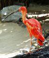 Eudocimus ruber - Scharlachsichler - Scarlet Ibis.jpg