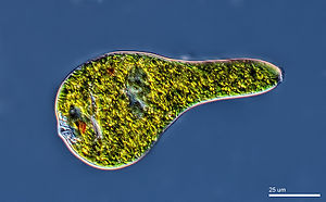 Euglena wikipedia euglena movement known as metaboly ccuart Images