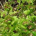 Euphorbia amygdaloides RF.jpg
