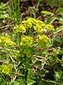 Euphorbia cyparissias in Austria.JPG