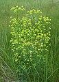 Euphorbia esula kz03.jpg