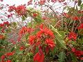 Euphorbia pulcherrima (Barlovento) 06.jpg