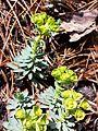 Euphorbia saxatilis sl13.jpg