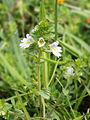 Euphrasia stricta (plant).jpg