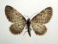 Eupithecia satyrata.jpg