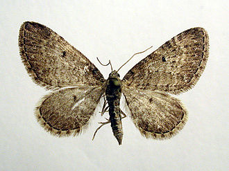 Eupithecia satyrata - Image: Eupithecia satyrata