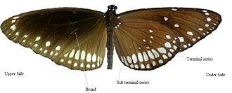 Euploea core - Underside versus upperside