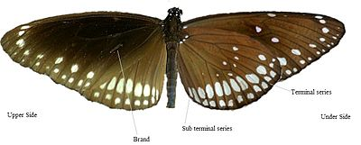 Underside versus Upperside of Euploea core