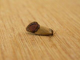 <i>Eupselia satrapella</i> Species of moth