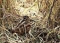 Eurasian Woodcock (Scolopax rusticola) (26338656739).jpg