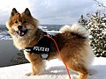 Eurasier - Smile.jpg