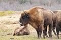 European bison in the Netherlands - Zuid-Kennemerland National Park (47980221502).jpg