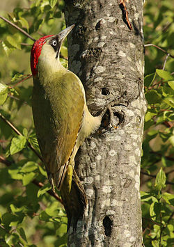 European green woodpecker (Picus viridis) female Barnes.jpg