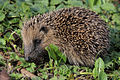 European or common hedgehog (Erinaceus europaeus).jpg