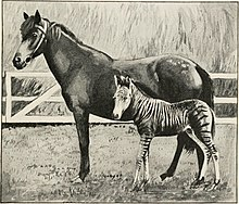 Photograph of the striped offspring of a horse mother and a zebra father