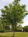 Fabales - Robinia hispida - 2.jpg