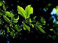 Fagus sylvatica - leaves.jpg