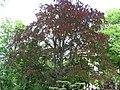 Fagus sylvatica f. purpurea 04 by Line1.JPG