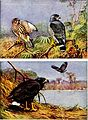 Falconry, the sport of kings (1920) (14565813079).jpg