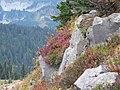Fall color with Tatoosh background. Alta Vista Trail. (79b9d1d9a16b44a288578097753f4901).JPG