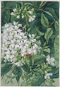 Faradaya splendida F.Muell., Lamiaceae, Papua New Guinea, 1916? Ellis Rowan.jpg