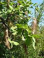 Faurea rochetiana, bloeiwyses, Pretoria NBT.jpg
