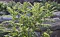 Faves del dimoni (Astragalus lusitanicus Lam. subsp. lusitanicus), jardí botànic de València.JPG