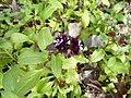 Fedia graciliflora in Jardin des Plantes 01.JPG