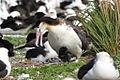 Female Short-tailed Albatross and Chick.jpg
