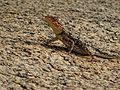 Female South Indian or Peninsular Rock Agama.jpg