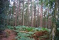 Ferns and conifers in Chase Wood - geograph.org.uk - 1490727.jpg