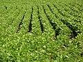 Fesols de Sta Pau field.JPG