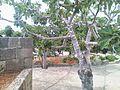 Fico a Santa Maria Di Leuca - panoramio.jpg
