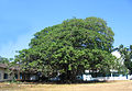 Ficus Benghalensis at Kannur Science Park.jpg