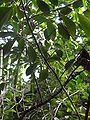 Ficus natalensis - Palmengarten Frankfurt.jpg