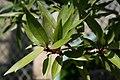 Ficus neriifolia 9zz.jpg