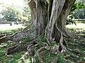 Ficus religiosa 03 by Line1.JPG